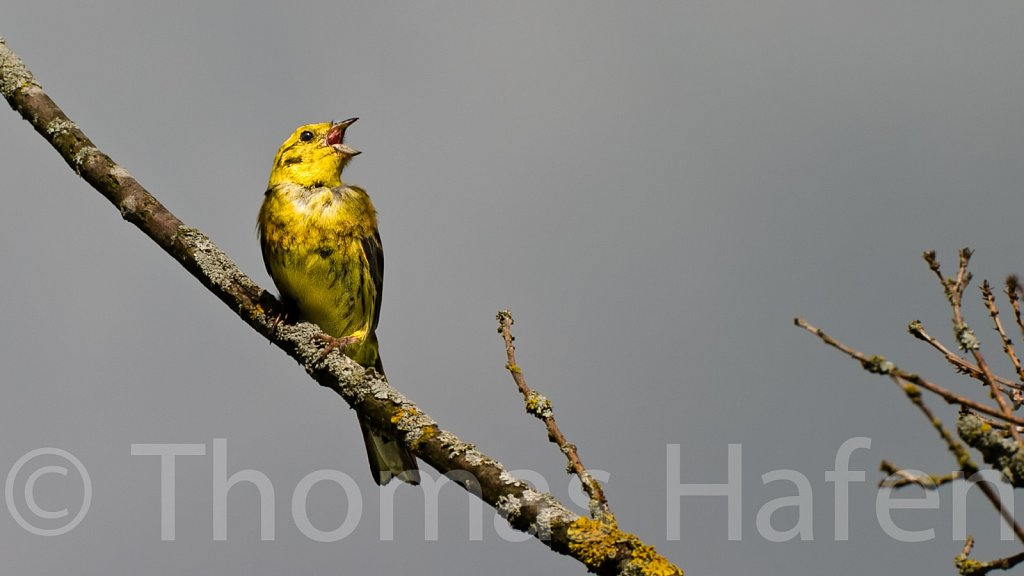 Goldammer – Yellowhammer