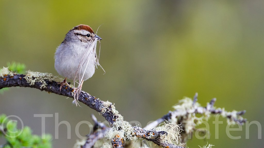 Schwirrammer – Chipping Sparrow